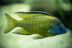 Fische im Aquarium Lizenzfreies Stockbild