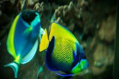 Fische im Aquarium Stockfoto