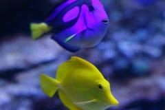 Fische im Aquarium Lizenzfreie Stockfotos