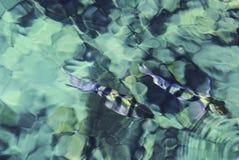 Fische im blauen Wasser Lizenzfreie Stockfotografie