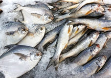 Fische im Eis Stockfoto
