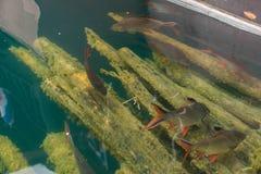 Fische im Fluss Stockfotos