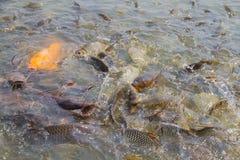 Fische im Fluss/in der Fütterung Stockfotos