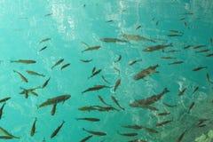 Fische im freien Wasser Stockfotografie
