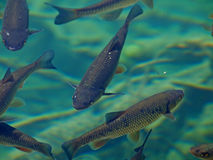 Fische im grünen Wasser lizenzfreie stockfotos