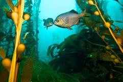 Fische im Kelp stockfotografie