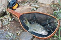 Fische im Landungnetz Stockfoto
