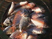 Fische im Netz Lizenzfreie Stockbilder
