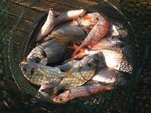 Fische im Netz Lizenzfreies Stockfoto