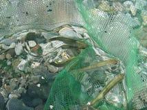 Fische im Netz Lizenzfreies Stockbild