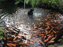 Fische im Teich stockfoto