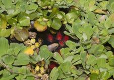 Fische im Teich lizenzfreie stockfotos
