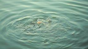 Fische im Teich Brot essend Fischfütterung stock footage