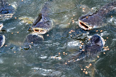 Fische im Wasserfall lizenzfreie stockfotos