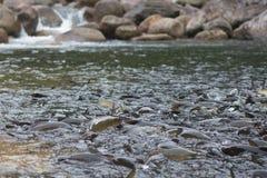 Fische im Wasserfall stockbilder
