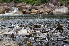 Fische im Wasserfall Stockfotografie