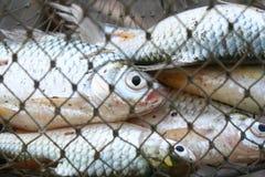 Fische im Weidenkorb Stockfotos