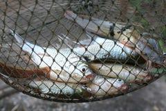 Fische im Weidenkorb von der Fischfarm Thailand Lizenzfreies Stockfoto