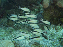 Fische in karibischem Mexiko lizenzfreies stockfoto