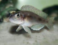 Fische Lamprologus ocellatus Stockbild