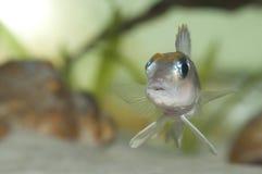 Fische Lamprologus ocellatus Stockfotografie