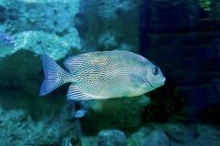 Fische mit einem schönen Labyrinthmuster Stockfoto