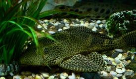Fische mit Maskierungsfarbe Stockbilder