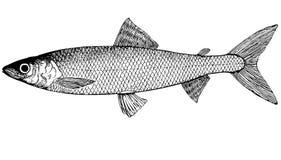Fische omul Coregonus autumnalis Abbildung Lizenzfreie Stockbilder