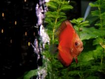 Fische - orange Discus Stockfotografie