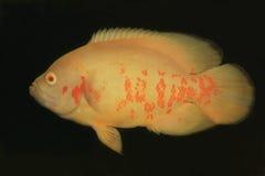 Fische, Oscar-Albino Stockbild