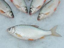 Fische rudd Stockfoto