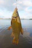 Fische: Schleien Lizenzfreies Stockbild