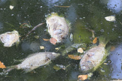 Fische starben weil Abwasser Lizenzfreie Stockfotografie