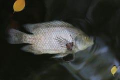 Fische starben weil Abwasser Stockfotografie