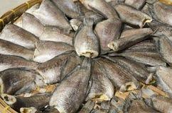 Fische (Trichogaster-Pectoralis) Stockfotografie