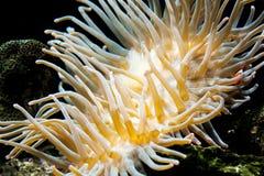 Fische und Anemone Lizenzfreie Stockbilder