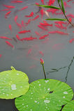 Fische und Blatt von Lotos Stockfotografie