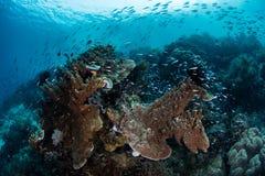 Fische und gesundes Riff in Raja Ampat Stockfotos