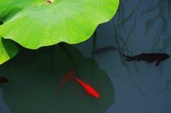 Fische und Grünblätter von Lotos Stockfotografie
