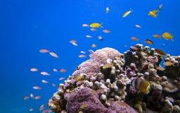Fische und Koralle Lizenzfreie Stockfotografie