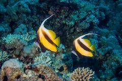 Fische und Korallen auf Riff Stockfotografie