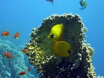 Fische vor einer Koralle Lizenzfreie Stockbilder