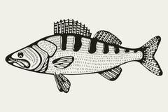 Fische Zander Zeichnung Lizenzfreies Stockbild
