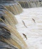 Fischeier Stockfotografie