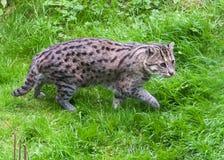 Fischen-Katze, die in Gras geht lizenzfreies stockbild
