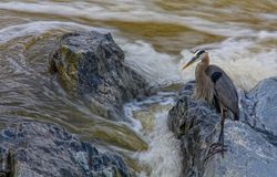 Fischen-Reiher, Nationalpark Great Fallss, Virginia Stockfotografie
