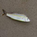 fischen Sie auf grauem Hintergrund, Fisch, ein Fisch Stockfoto