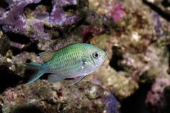 Fischen Sie, blaues Grün chromis - chromis viridis Lizenzfreies Stockfoto