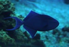 Fischen Sie das große blaue Sweaming in tiefem blauem Ozean Lizenzfreies Stockbild