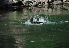 Fischen Sie die Forelle, die von der grünen Wassernahaufnahme springt lizenzfreie stockfotografie